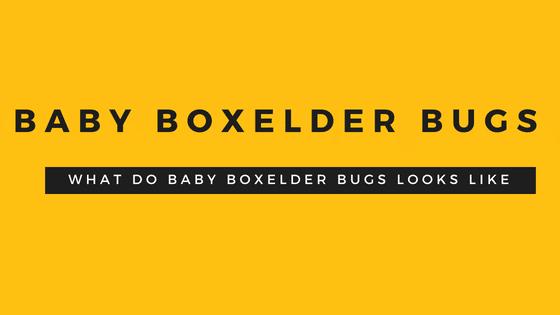 Baby Boxelder Bugs