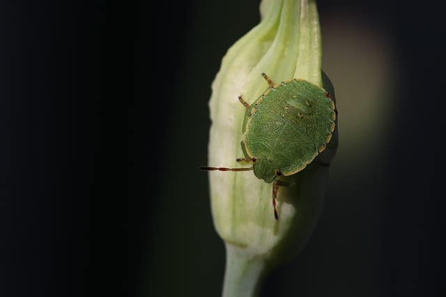 Stink bugs fly at night