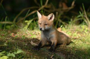 Fox Scat