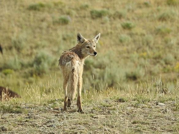 coyote poop