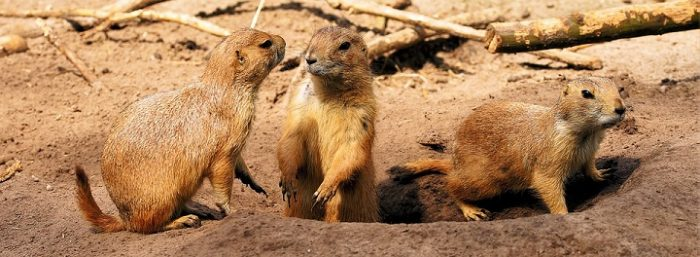 do gophers carry rabies