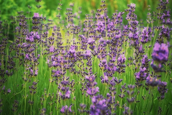 lavender to repel spiders