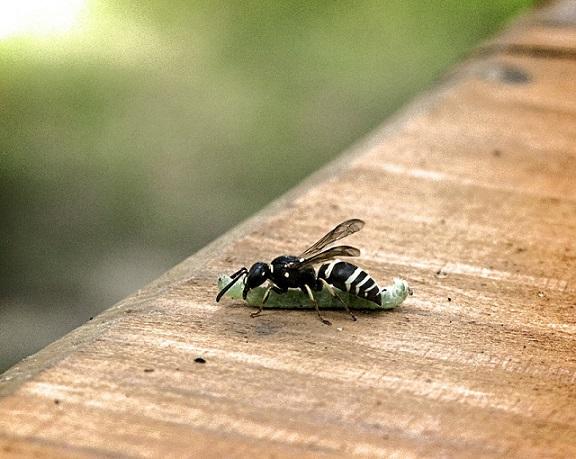 wasp eating catterpillar