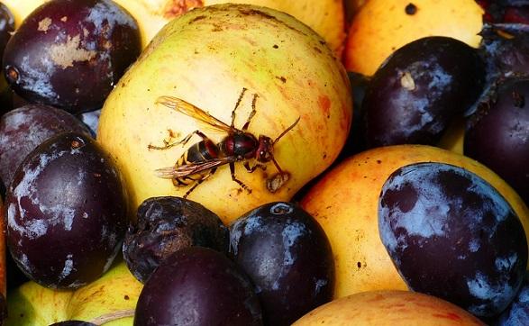 wasps eat fruits