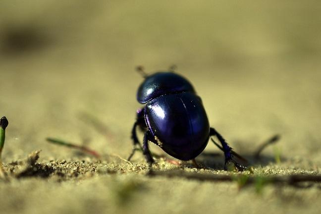 small black beetle bug