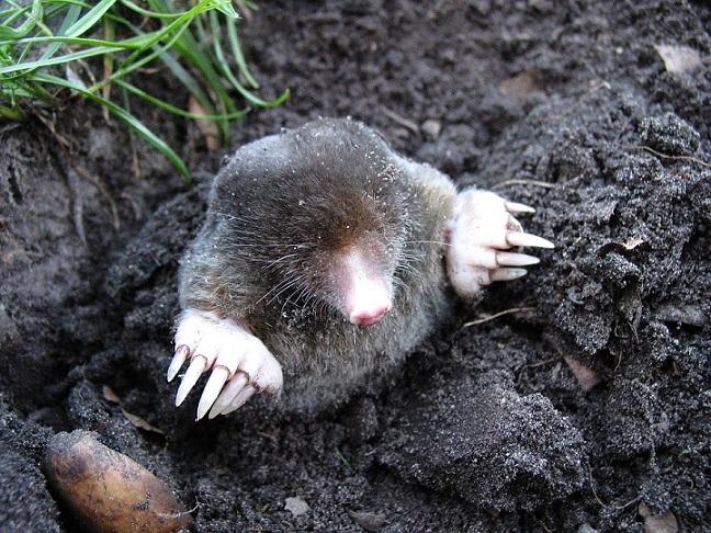 moles have eyes