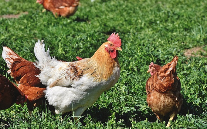 chickens to get rid of locusts
