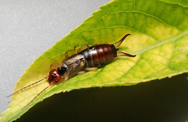 earwigs eat leaves
