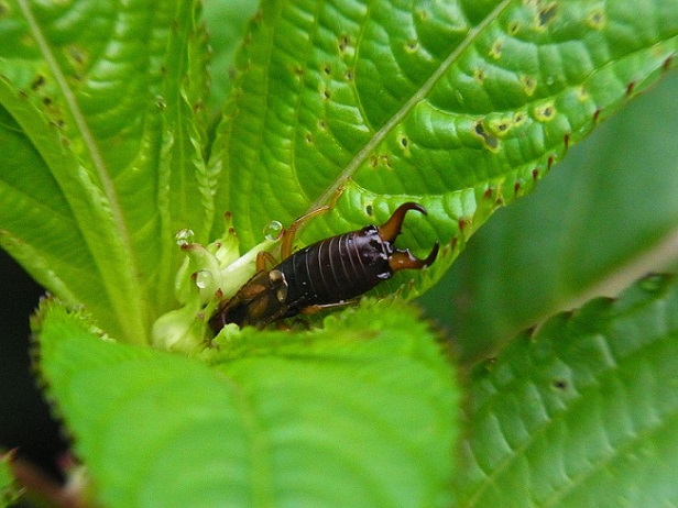 earwig eat flowers