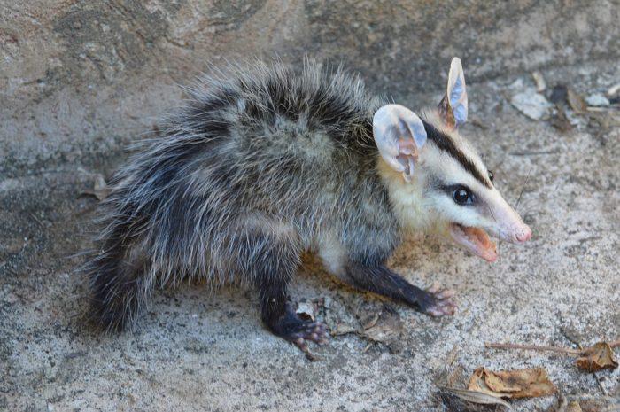 possum poop scat