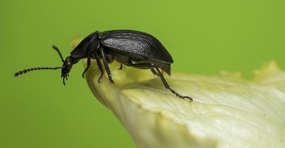 tiny black bug