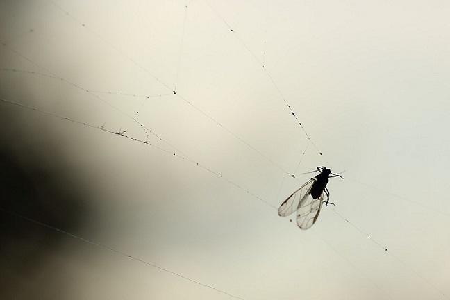 spider eat flies