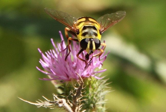 what yellow jackets eat