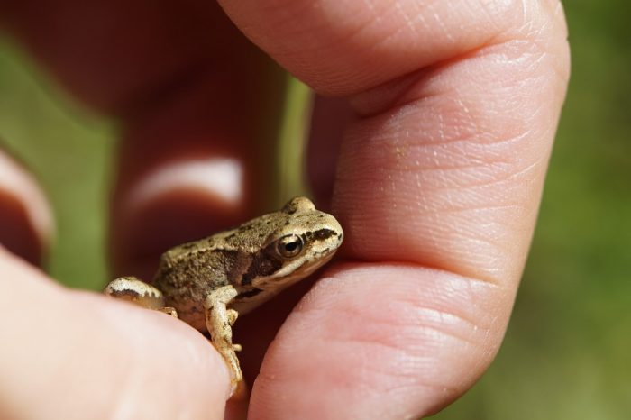 what do baby toads eat