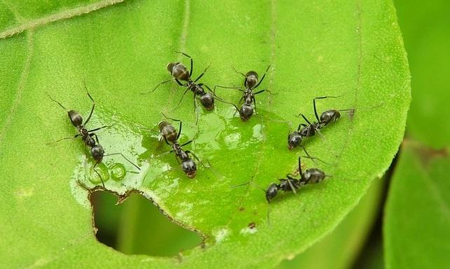 borax for ants