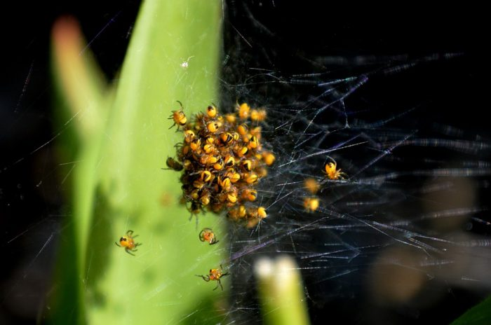 spider bombs for nest